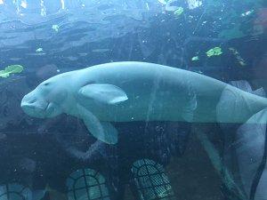Pig the Dugong